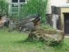 Páv korunkatý