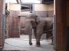 Ujo slon indický