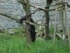 Medveďo-opica